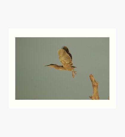 Striated Heron Art Print