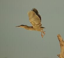 Striated Heron by Nick Hart