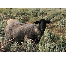 THIS MUST BE THE BLACK SHEEP OF THE FAMILY Photographic Print