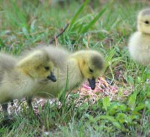 Wild Canada Geese Babies Sticker
