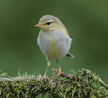 Willow Warbler by Peter Wiggerman