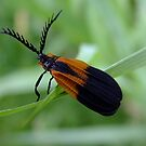 Banded Net - Wing Beetle - Caenia dimidiata by Tracy Faught
