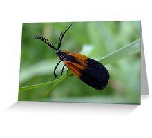 Banded Net - Wing Beetle - Caenia dimidiata Greeting Card