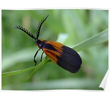Banded Net - Wing Beetle - Caenia dimidiata Poster