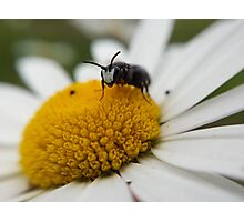 marco photo of a bug on a Marguerite Photographic Print