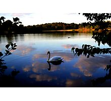 Swans of Windsor Photographic Print