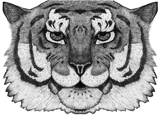 Tiger Tiger by samclaire