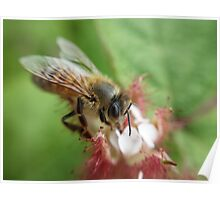 A well crafted bee on a raspberry flower Poster