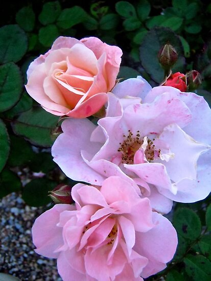 Governor General's Roses13 by Shulie1