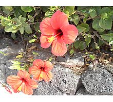 Hisbiscus in Lanzarote Photographic Print