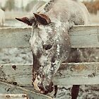 Appaloosa Horse and Fence by jamieleigh