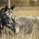 Appaloosa Horse Resting by jamieleigh
