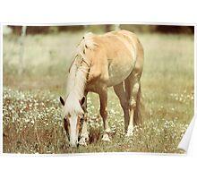 Haflinger Horse Grazing Poster
