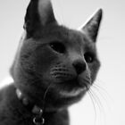 Russian Blue by Samsticks