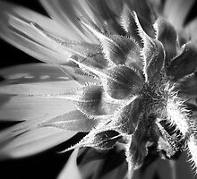 Sunflower in Black and White by Eric Ziegler
