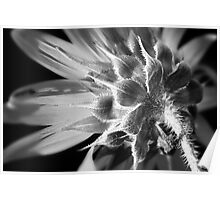 Sunflower in Black and White Poster