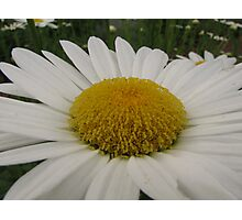 Big Shasta Daisy Photographic Print