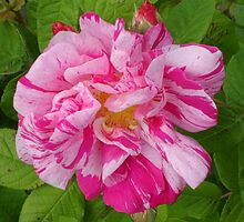 Rosa mundi (Rosa gallica 'Versicolor') by Philip Mitchell