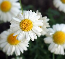 Daisys by stevealmighty