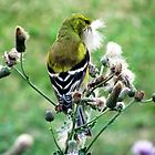 Goldfinch in Thistle by sevenfeathers