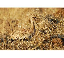 Red-crested Korhaan Photographic Print