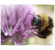 bumblebee on a chive flower Poster