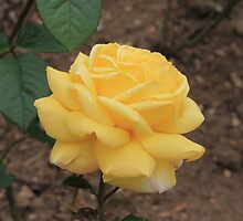 mellow yellow by juliepilcher