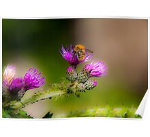Bumblebee on a Thistle Flower Poster