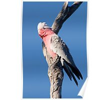 Galah in the Wind Poster