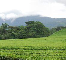 Tea Estate by Nick Hart