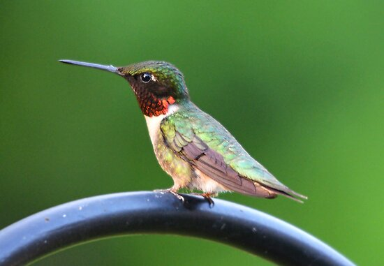 Male Ruby Throated Hummingbird by imagetj
