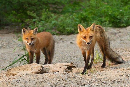 Fox Family by Jim Cumming
