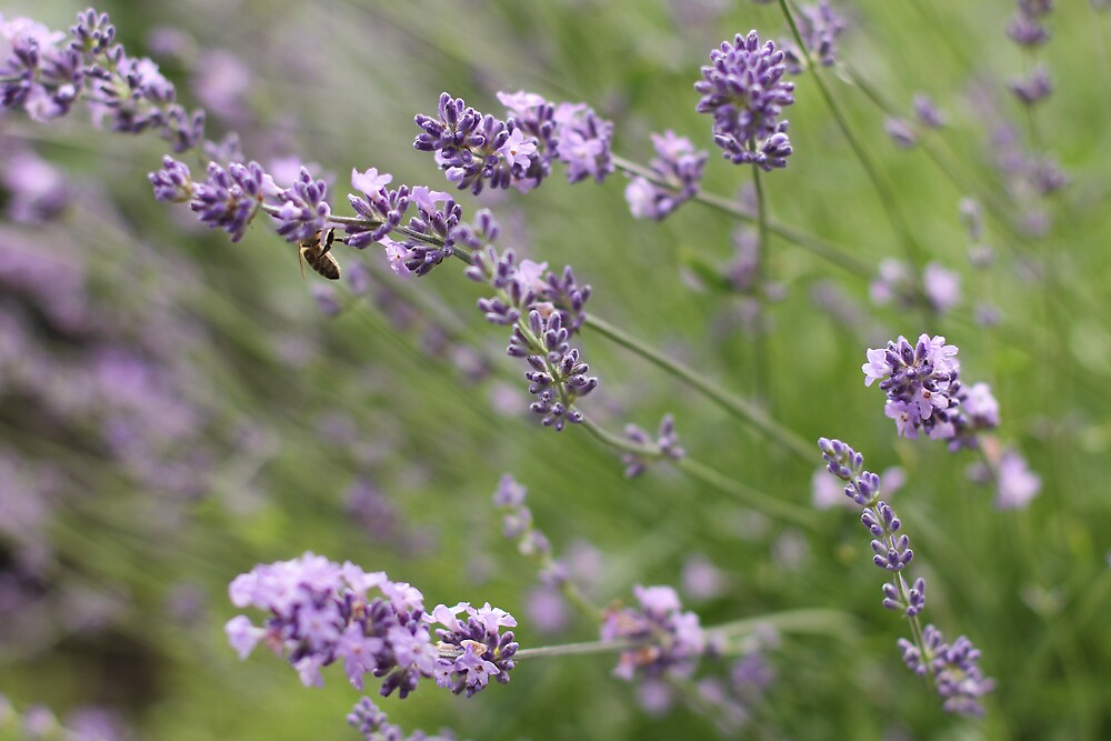 In the Lavender by Tracy Friesen