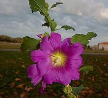 Passionate Purple Flower in Isle d'Aix by Ren Provo