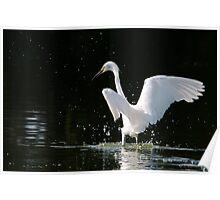Splashing Egret Poster