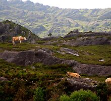 Cows on rocks by Karin  Funke