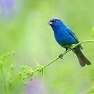 Indigo Bunting...Not Feeling Blue! by Daniel Cadieux