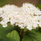 Soft White Elderberry Blossoms by Linda  Makiej