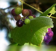 Mustang Grape Vine by Penny Odom