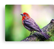 House Finch... Canvas Print
