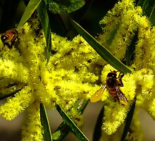 Coast Wattle, Acacia sophorae by ronsphotos