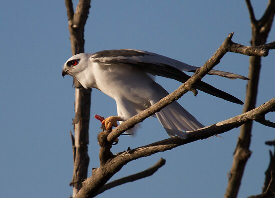BlackShoulderd Kite With Mouse by Kym Bradley