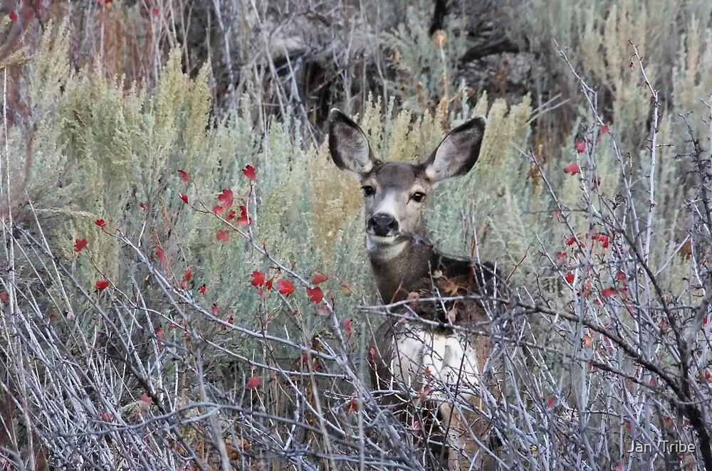 Female Mule Deer by Jan  Tribe