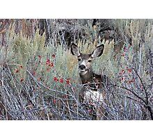 Female Mule Deer Photographic Print