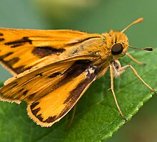 Fiery Skipper Butterfly - Hylephila phyleus by Otto Danby II