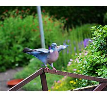 Pigeon about to fly Photographic Print