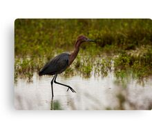 Reddish Egret (Egretta rufescens) Canvas Print