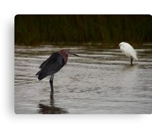 Reddish and Snowy Egrets, Matagorda Bay, Texas Canvas Print
