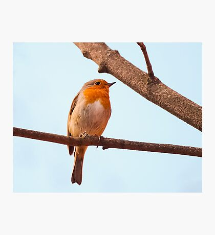 Erithacus rubecula, red chest bird, on a branch Photographic Print