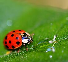Lady Bug by Henrik Lehnerer